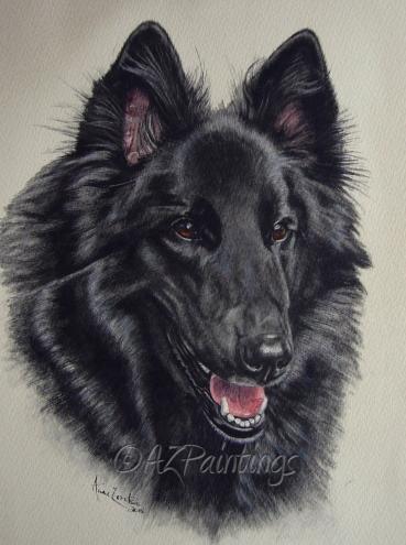 Belgian Shepherd,Chien de Berger de Races Continentales,Continental Shepherd,Belgian Sheepdog,herding dog,