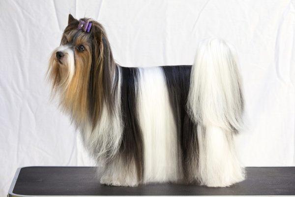 X Biewer Terrier,Yorkshire Terrier