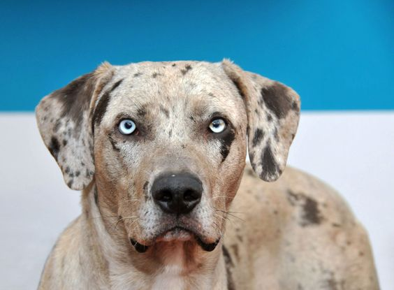 eyes,catahoula leopard dog,glass eye,marble eye,cracked eye