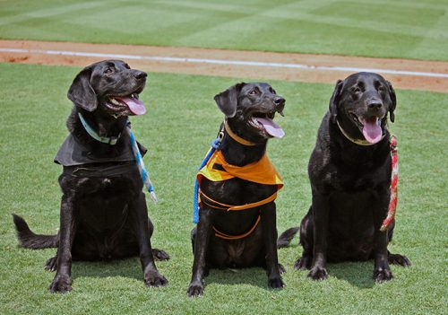 Labrador Retriever,bat dog,Greensboro Grasshoppers,baseball,