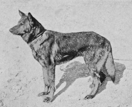 German Shepherd Dog,Phylax Society,Phylax Society,Max von Stephanitz