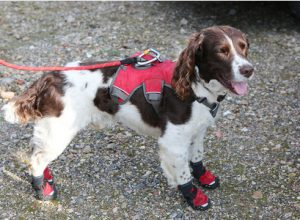 One Springer's Very Special Job