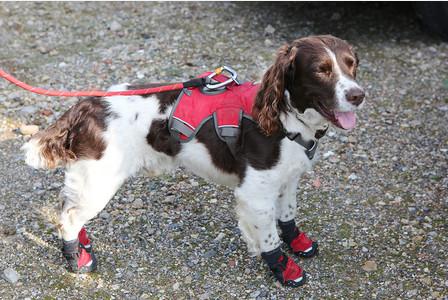 water vole,springer spaniel,stig,conservation dog