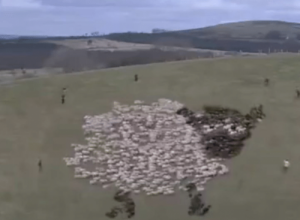 When Shepherds Have Too Much Time