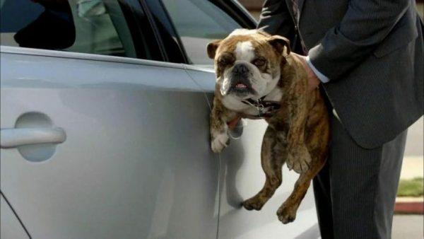 bulldog,tv,commercial,Volkswagen,Jetta,advertising