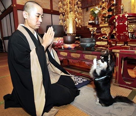 Tibetan Terrier,lhasa apso,japanese chin,saint bernard,st.bernard,buddhist,monk,monks of new skete, german shepherd dog