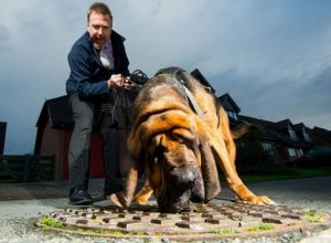 Hector, the Fat Finding Bloodhound