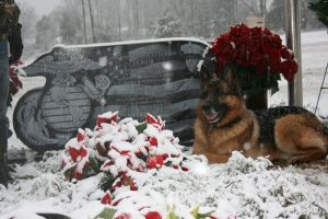 german shepherd dog,war dog, military dog,bomb sniffing dog,Lex