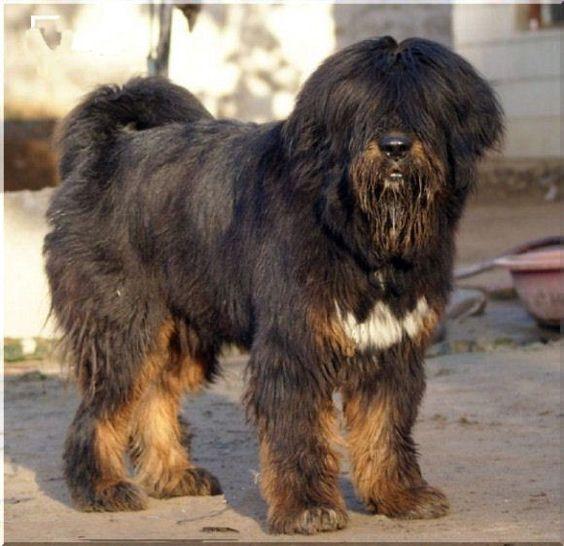 Tibetan Kyi Apso,Bearded Tibetan Mastiff,Tibetan Kyi Apso,lhasa apso