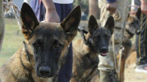 Belgian Malinois,bin laden,conservation dogs
