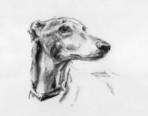 burr,ears,Staffordshire Bull Terrier,Greyhound,Whippet
