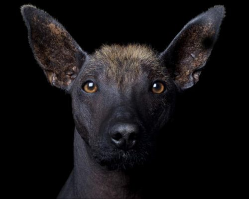 The Hairless Dog With A Gene For Hair