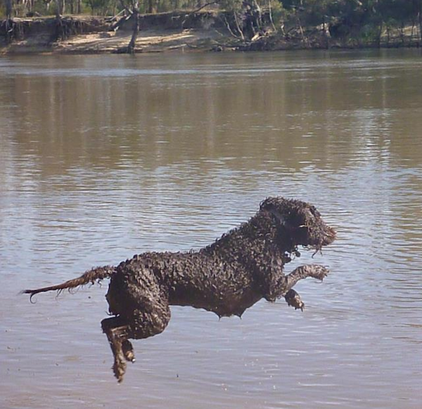 Curly Coated Retriever,Murray River Curly-coated Retriever,Australia,