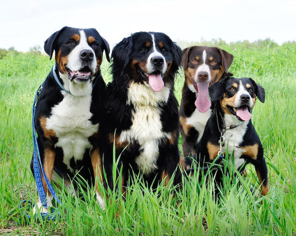 Appenzeller Sennenhunde,Entlebucher mountain dog,greater swiss mountain dog,bernese mountain dog,