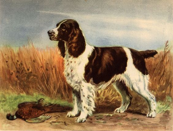 A Snippet Of English Springer Spaniel