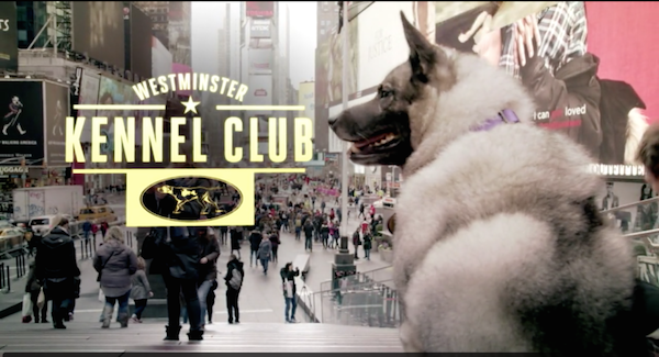 norwegian elkhound,lisa unleashed,national dog,swedish lapphund,