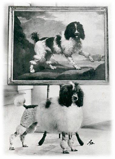 poodle,coat,parti-color,color,breed standard,AKC,