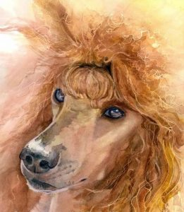 Poodle,coat, Color