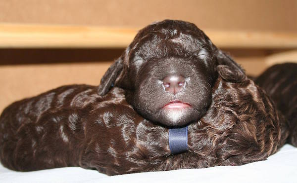 Irish Water Spaniel,spaniel,irish,Justin McCarthy
