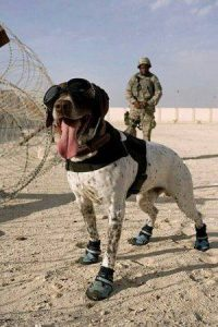 german shorthaired pointer,military dog