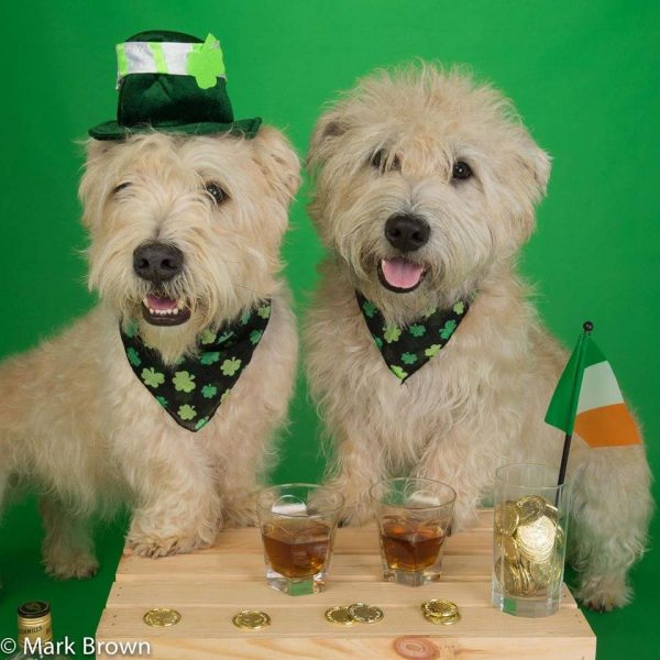 Glen of Imaal Terrier, st.patrick day, Irish,