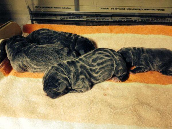 coat,neapolitan mastiff,stripes