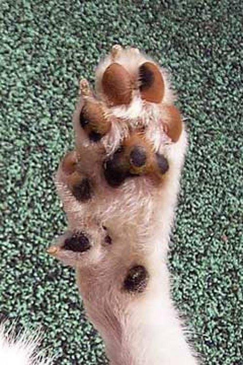 Norwegian lundehund, puffin dog,Polydactylism,feet,