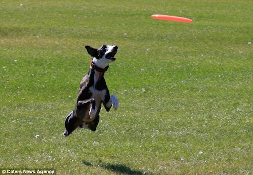 davey whippet, whippet, frisbee, Guinness Book of Records,