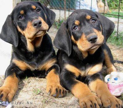 Transylvanian Hound,hound,hunting dog,
