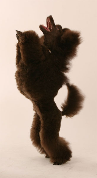 poodle,Continental clip,grooming,coat,hair,Scandanavian trim,rosette,muffin,