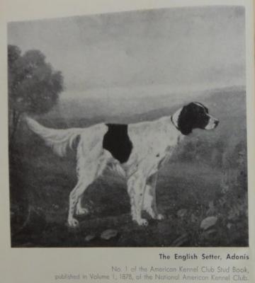 adonis,English Setter, AKC