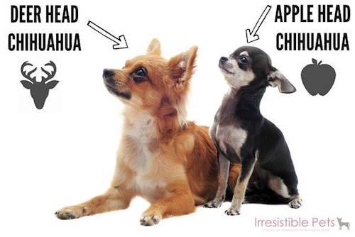 molera,chihuahua,apple head,deer head