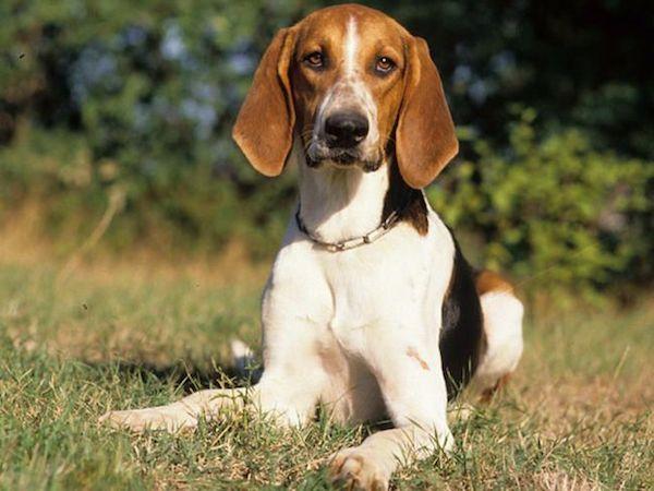Anglo-Français de,Anglo-French Hound,hound hound,French English Hound,small French English Hound