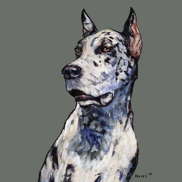 great dane, coat, color, Harlequin Great Dane,