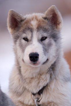 Qimmiq,vulnerable breed,extinction,Canadian Eskimo Dog,CANADIAN INUIT DOG,