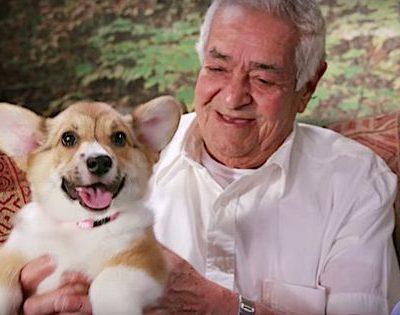 puppies,purina,puppy chow,pembroke welsh corgi,labrador retriever,