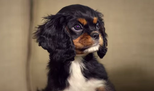 purina,Chloe,cavalier king charles,puppyhood,tv,commercial,advertising