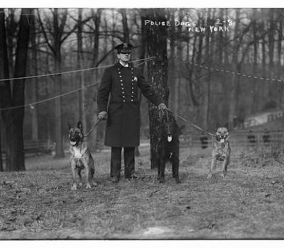 Belgian Malinois,police dog