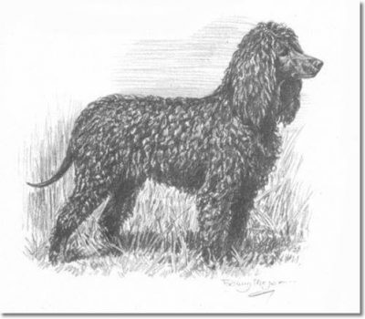Irish Water Spaniel,treeing Walker Coonhound,American Foxhound, tail, root,structure