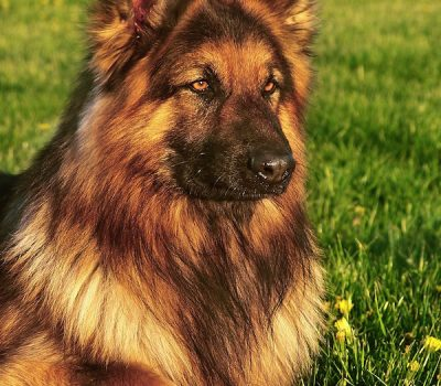 coat,Shiloh Shepherds, German Shepherd Dog,Alaskan Malamute,Great Pyrenees,King Shepherd,King German Shepherd, King Size Shepherd, Giant German Shepherd, King Size German Shepherd