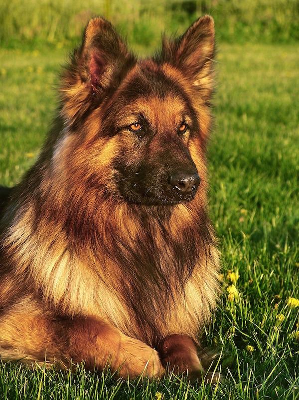 The Long Coated German Shepherd Dog?