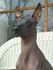 Peruvian Inca Orchid, hairless, body temperature, breed standard,