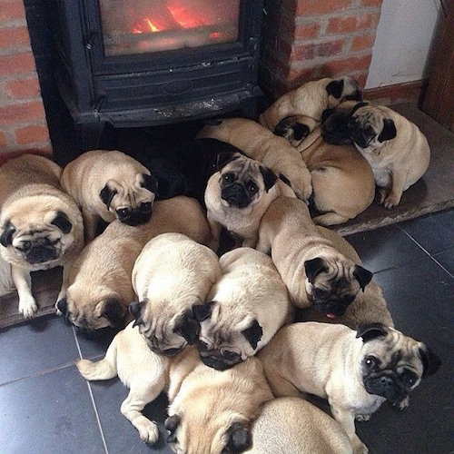 Pug,collective noun,grouping,