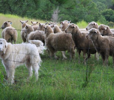Ray Coppinger, LGD, Livestock Guardian Dog, Hampshire College