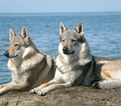 Czechoslovakian Wolfdog, Ceskoslovensky Vlack, Slovack Wolfdog, Chien-Loup Tchecoslovaque,Karel Hartl,German Shepherd Dog