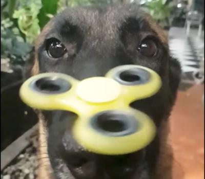 fidget spinner,belgian malinois,police dog