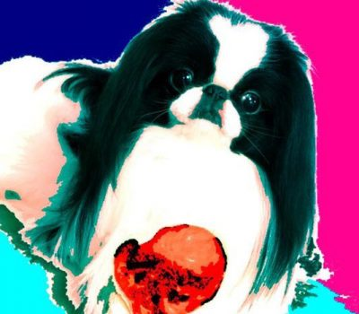 Japanese Chin,expression, type,standard,