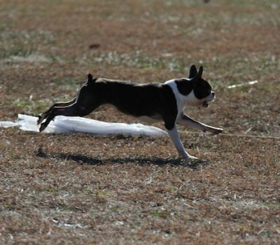 Coursing Ability Test,CAT,lure coursing,AKC,title