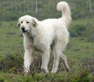 Bakharwal, Kashmir Mastiff, Gujjar Dog, Kashmiri Bakarwal Dog, Kashmir Sheepdog, Bakarwal Mastiff, Gujjar Wathdog, Livestock Guardian Dog,