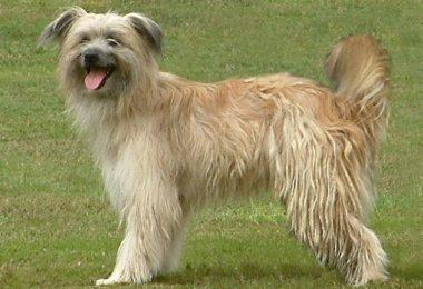 Pyrenean Shepherd,matelotes,cords,Cadenettes,coat,breed standard
